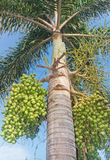 Royal palm .( Roystonea regia (HBK.)Cook.) Royalty Free Stock Photos