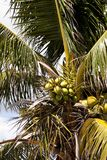 Royal palm tree with coconuts clustered among the palm fronds. On Marco Island, Florida Stock Images