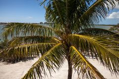 Royal palm tree with coconuts clustered among the palm fronds. On Marco Island, Florida Royalty Free Stock Photography