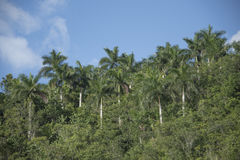 Royal Palm tree in the Cuban countryside, Hanabanilla, Cuba Stock Image