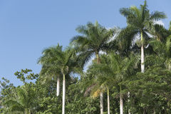 Royal Palm tree in the Cuban countryside, Hanabanilla, Cuba Royalty Free Stock Photos