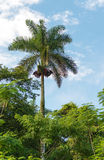 Royal Palm Tree, Cuban National Tree Royalty Free Stock Photos