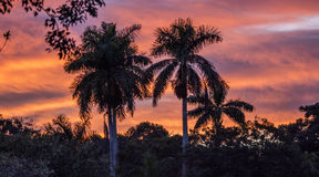 Royal Palm Tree at Sunset Stock Photography
