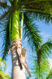 Royal palm tree top (roystonea regia) Royalty Free Stock Photography
