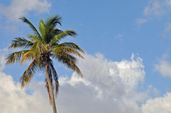 Royal Palm tree Royalty Free Stock Photography