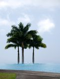 Royal Palm trees behind an infinity pool at a coffee plantation Stock Image