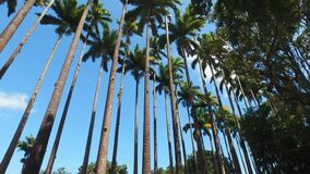 Royal Palm Trees in Botanical Garden of Rio De Janeiro, Brazil, Low Angle View