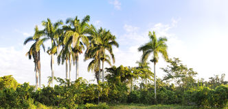 Royal palm trees panorama Stock Photography