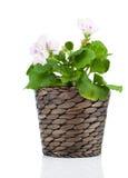 Royal Pelargonium - Geranium in pot Royalty Free Stock Photography