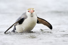 Royal Penguin (Eudyptes schlegeli) coming out the water Royalty Free Stock Photo