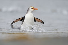 Royal Penguin (Eudyptes schlegeli) coming out the water. On Macquarie Island, sub Antarctic waters of Australia Stock Image
