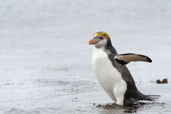 Royal Penguin (Eudyptes schlegeli) coming out the water Stock Photography