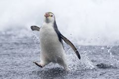 Royal Penguin, Eudyptes schlegeli. Royal Penguin (Eudyptes schlegeli) on Macquarie islands, Australia stock images
