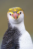 Royal Penguin (Eudyptes schlegeli) portrait Stock Image