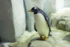 Royal penguin. The Royal penguin is a flightless bird, the second largest species of penguin after the Emperor. Lives mainly on the Islands along the coast of Stock Images