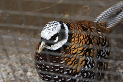 Royal pheasant in the cell Stock Images