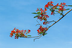 The Royal Poinciana. Stock Photo