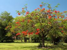 Royal Poinciana in bloom - 1. Royal Poinciana or Flamboyant tree (Delonix regia), a colorful ornamental tree native to Madagascar that is widely cultivated royalty free stock photo