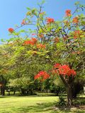 Royal Poinciana in bloom - 2. Royal Poinciana or Flamboyant tree (Delonix regia), a colorful ornamental tree native to Madagascar that is widely cultivated royalty free stock photos