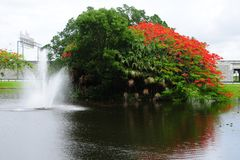 Royal Poinciana in bloom and fountain Royalty Free Stock Images
