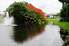 Royal Poinciana in bloom and fountain Royalty Free Stock Photo