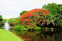 Royal Poinciana in bloom and fountain in water Stock Images