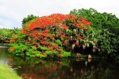 Royal Poinciana in bloom Stock Photos