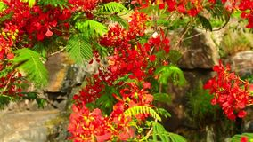 Flame Tree Royal Poinciana Vibrant Red Flowers HD Footage. Royal poinciana, delonix regia from the fabaceae family also none as the flame tree, with its vibrant stock video