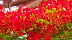 Flame Trees Vibrant Red Flowers HD Stock Footage. Royal poinciana, delonix regia from the fabaceae family also none as the flame tree, with its vibrant red stock video footage