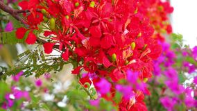 Flame Tree Vibrant Red Flowers HD Stock Footage. Royal poinciana, delonix regia from the fabaceae family also none as the flame tree, with its vibrant red stock video