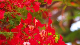 Flame Tree Vibrant Red Flowers HD Stock Footage. Royal poinciana, delonix regia from the fabaceae family also none as the flame tree, with its vibrant red stock video footage