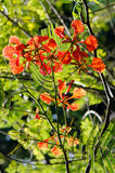 Royal poinciana (Delonix regia) Royalty Free Stock Images