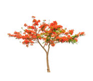 Royal Poinciana or Flamboyant tree. (Delonix regia), tropical tree in the northeast of Thailand isolated on white background Stock Photos
