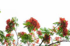 Royal poinciana flame tree blooming Stock Photo