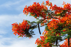 Royal Poinciana flame tree Royalty Free Stock Photography