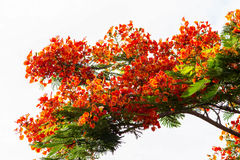 Royal Poinciana flame tree Stock Photo