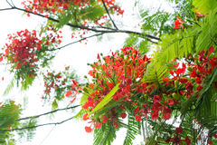 Royal poinciana flame tree red flower Stock Images