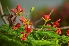 Royal poinciana Stock Images