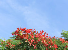 Royal Poinciana Tree 1 Royalty Free Stock Photos