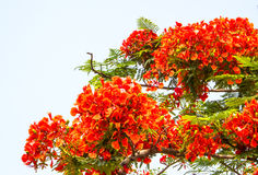Royal poinciana Royalty Free Stock Photos