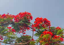 Royal poinciana Stock Image