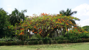 Royal poinciana tree at Bijapur. India Royalty Free Stock Image