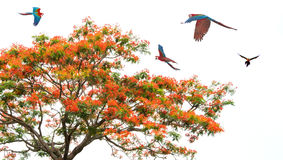 Royal Poinciana Tree in bloom with colorful parrots. Colorful parrots with Royal Poinciana tree over white background royalty free stock photo