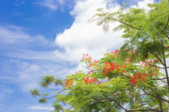 Royal Poinciana tree with blue sky background. Soft cloud , green trees and blue sky stock image