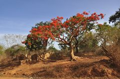 Royal Poinciana tree (Delonix regia) Stock Photos
