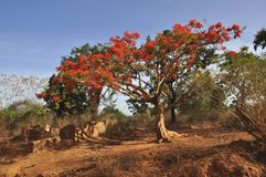 Royal Poinciana tree (Delonix regia) Royalty Free Stock Images