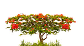 Royal Poinciana tree (Delonix Regia) isolated on white Stock Photos