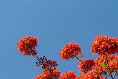 Royal poinciana tree flowers Stock Images