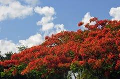 Royal Poinciana Tree Stock Photos