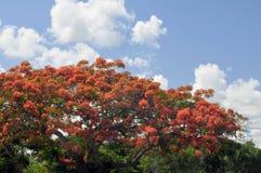 Royal Poinciana Tree Royalty Free Stock Photography